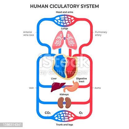 istock Flat design circulatory system infographic illustration Vector 1286314341