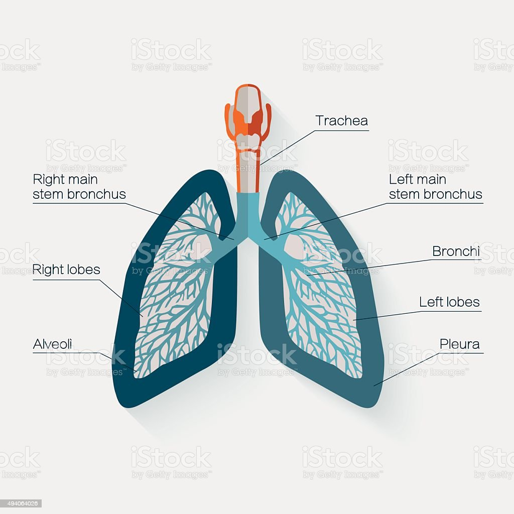 Flat design icon of human lungs vector illustration stock vector flat design icon of human lungs vector illustration royalty free flat design icon ccuart Images