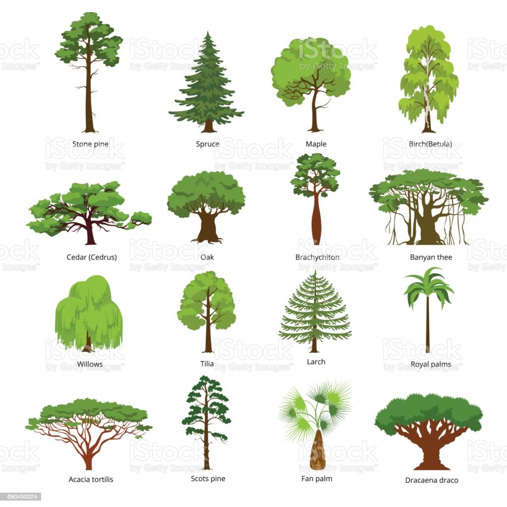 Flat green trees vector illustration set. Stone pine, spruce, maple, birch, cedar, oak, brachychiton, banyan, willow, larch, palm, scots pine forest tree icons. Nature concept. vector art illustration