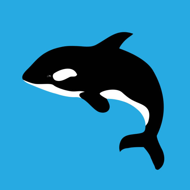 Flat illustration with grampus on a blue background Flat illustration with grampus on a blue background. Vector killer whale for your design. killer whale stock illustrations