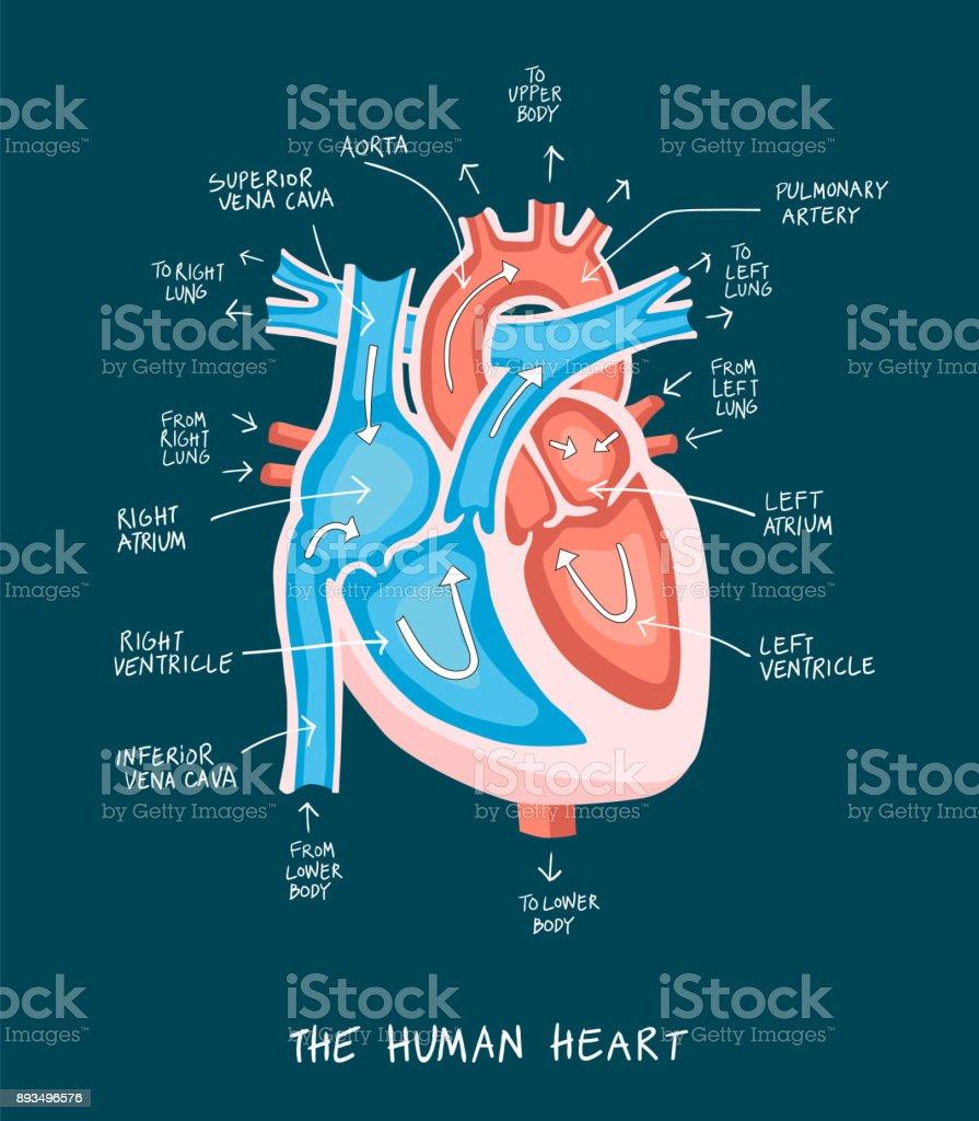 Flat style illustration of  human heart anatomy. vector art illustration