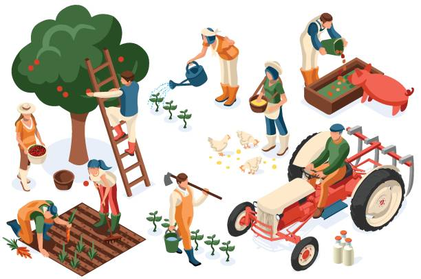 Flat Tractor Set Farmer Flat tractor set. Farmer, agricultural worker with plant, chicken, sheep, rabbit, cow, milk, fruit or feeding farm animal. Harvest man with apple. Girl isometric images isolated on white background. farmer stock illustrations
