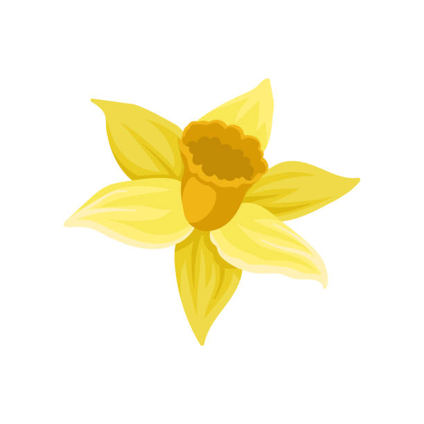 Flat vector icon of daffodil. Narcissus with bright yellow petals. Spring flower. Element for botanical book, postcard or textile Icon of daffodil. Narcissus with bright yellow petals. Spring flower. Colorful graphic element for botanical book, greeting card or textile. Flat vector illustration isolated on white background. daffodil stock illustrations