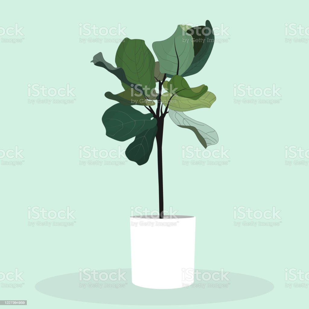 Flat Vector Of Fiddle Fig Or Ficus Lyrata Fiddleleaf Fig Tree In A Whitle  Pot Illustration Tropical Housepalnt Flat Vector Stock Illustration   ...