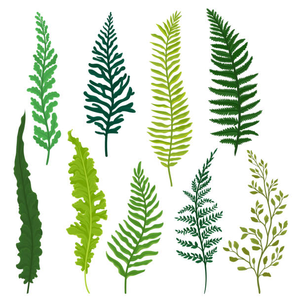 Flat vector set of different types of fern. Twigs with bright green leaves. Natural elements. Wild forest plant Colorful vector illustrations in flat style isolated on white background. fern stock illustrations