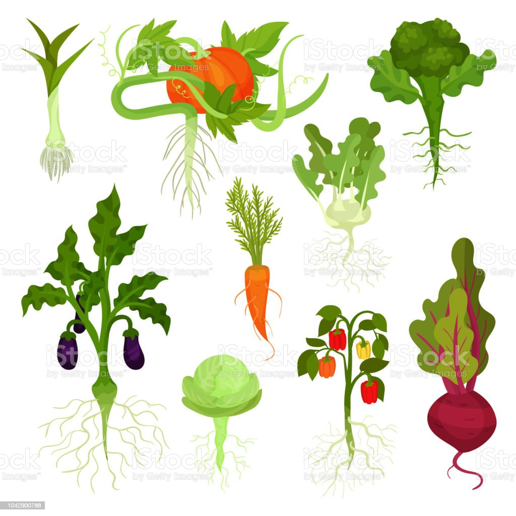 Flat vector set of vegetables with roots. Healthy nutrition. Natural food. Fresh garden products. Edible plants vector art illustration