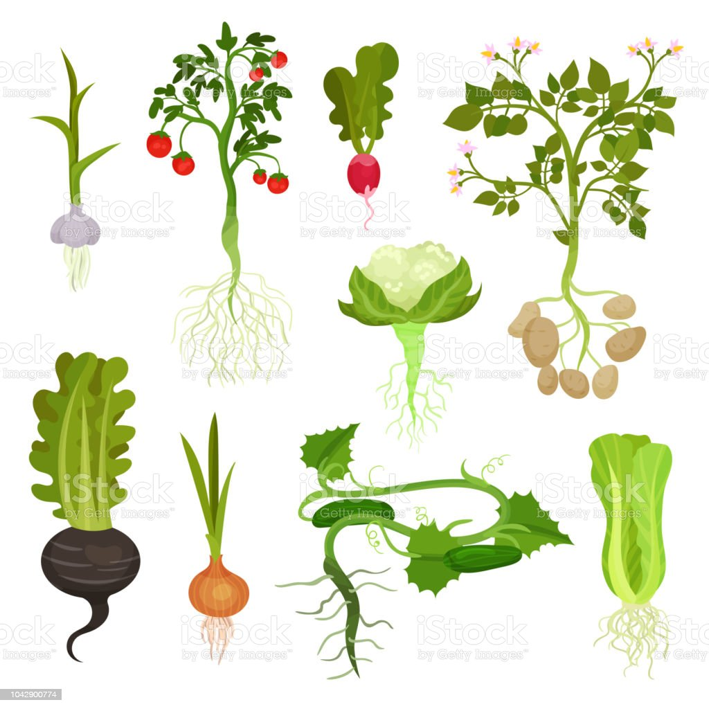 Flat vector set of vegetables with roots. Organic and healthy food. Natural farm products. Cultivated plants vector art illustration