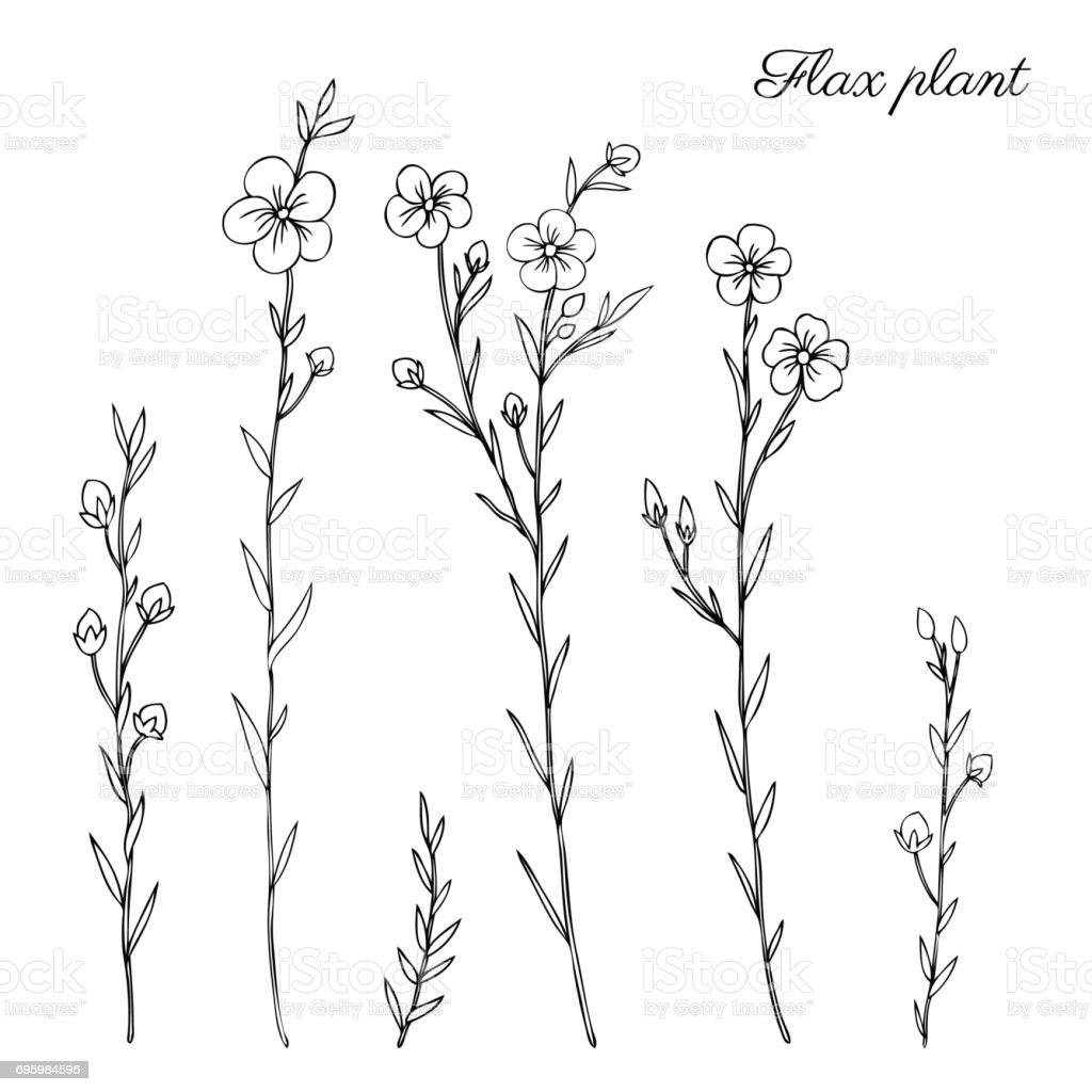 Botanical Flower Line Drawing : Flax plant wild field flower isolated on white botanical