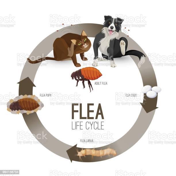 Flea life cycle circle with headlines vector illustration vector id994158734?b=1&k=6&m=994158734&s=612x612&h=u5ksqqvr brcd7wu9vur7fy2vr1av7crhjxqffmizhw=