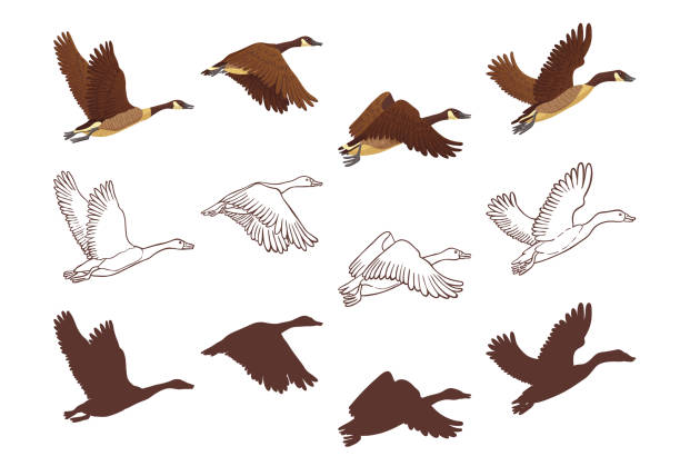 Flight poses of a goose Goose flying process in different poses. Isolated illustration on white background. Three different versions: colorful illustration, hand drawn sketch and silhouette. Vector illustration. lake waterfowl stock illustrations