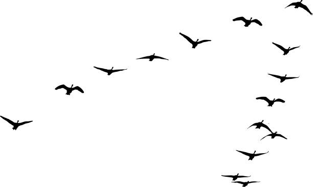 Flock of Canada Geese flying in formation Silhouette illustration of Flock of Canada Geese flying in formation canada goose stock illustrations