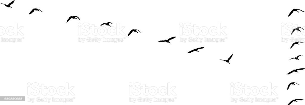 Flock of Canada Geese flying in v-formation and migrating vector art illustration