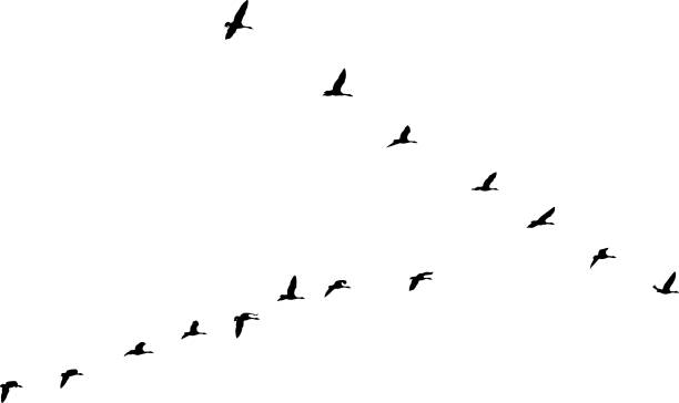 Flock of Canada Geese flying in v-formation and migrating Silhouette of Canada Geese flying in v-formation and migrating goose bird stock illustrations