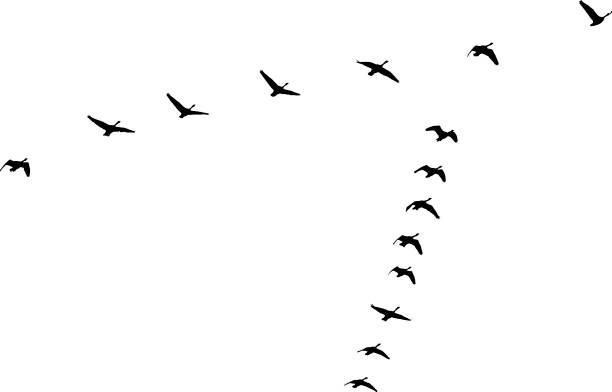 Flock of Canada Geese flying in v-formation and migrating Silhouette of Canada Geese flying in v-formation and migrating canada goose stock illustrations