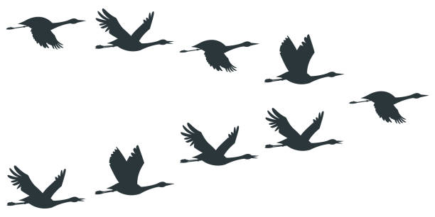 Flock of cranes or stork black silhouette in flying. Vector flat illustration of bird migration isolated on white background. Cranes or stork silhouette vector icon set. goose bird stock illustrations