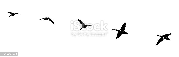 Flock of ducks flying in formation. Silhouette line art.