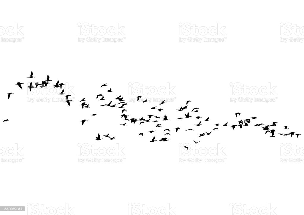 Flock of ducks vector art illustration