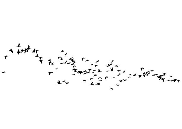 flock of ducks - birds stock illustrations