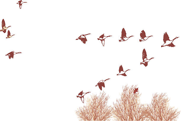 Flock of Geese Over the Tree Tops Canada Geese in V-Formation flying over the tree tops in gusty winds. canada goose stock illustrations