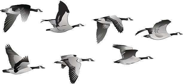 Flock of Geese Flock of Geese canada goose stock illustrations