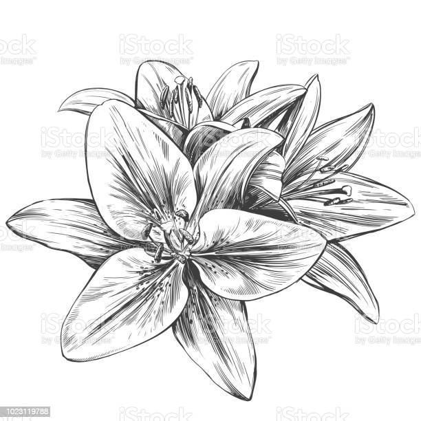 Floral blooming lilies vector illustration hand drawn vector sketch vector id1023119788?b=1&k=6&m=1023119788&s=612x612&h=tyn6yeinvdgkwv75coq0dg3 xqed5zdirmnlkcxda0k=