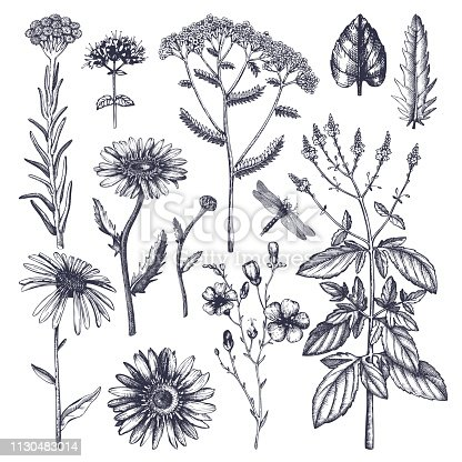 Vector hand drawn herbs. Vintage garden or field plants illustration. Summer flowers and weeds. Medicines and cosmetics ingredients. Engraved style.