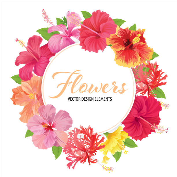 blumenrahmen mit wunderschönen hibiskusblüten auf weißem hintergrundvorlage. - hibiskusgarten stock-grafiken, -clipart, -cartoons und -symbole