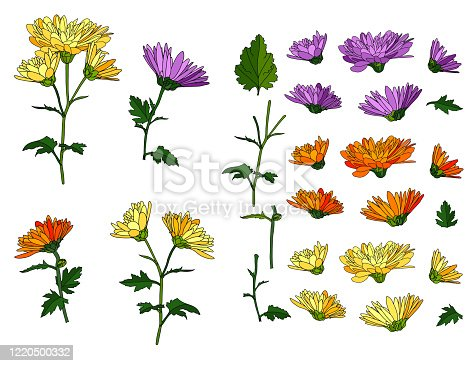 Floral set with blossoming buds of chrysanthemum and aster, stems and leaves for your design.A collection with several color options. vector illustration. Elements are hand-drawn and isolated on white