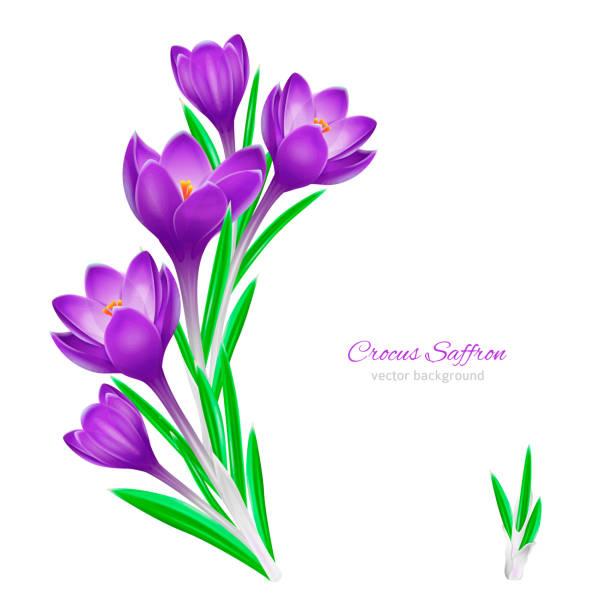illustrations, cliparts, dessins animés et icônes de fond floral de ressort pour la conception sur le fond blanc - crocus