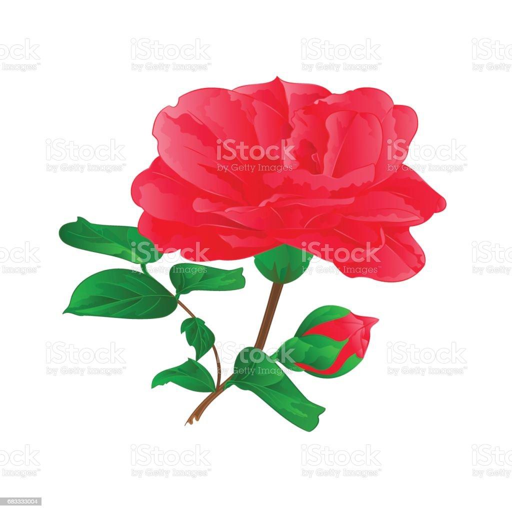 Flower Camellia Japonica  with buds vintage hand draw vector royalty-free flower camellia japonica with buds vintage hand draw vector stock vector art & more images of art