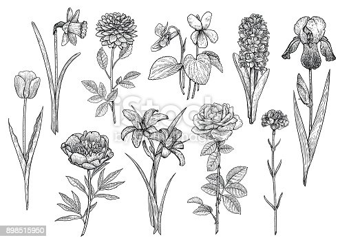 istock Flower collection, illustration, drawing, engraving, ink, line art, vector 898515950