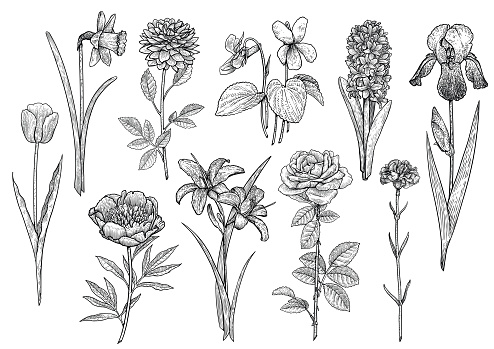 Flower collection, illustration, drawing, engraving, ink, line art, vector