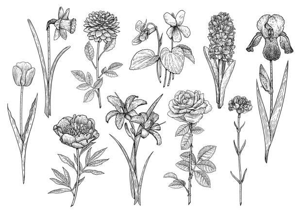 stockillustraties, clipart, cartoons en iconen met flower collectie, illustratie, tekening, gravure, inkt, zeer fijne tekeningen, vector - dahlia