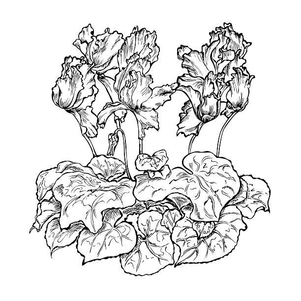 flower cyclamen black white - alpenveilchen stock-grafiken, -clipart, -cartoons und -symbole