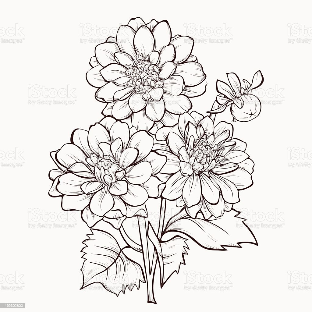 Dahlia Flower Line Drawing : Flower dahlia drawn in graphical style contours and lines