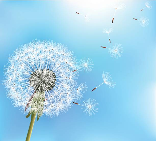 Best Dandelion Seeds Blowing Illustrations, Royalty-Free