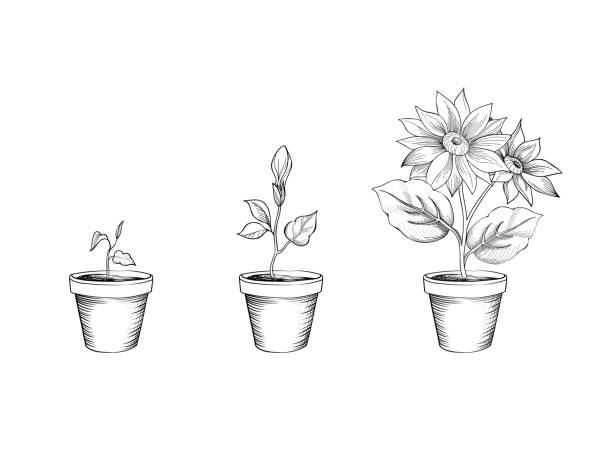Flower growth set. Floral pot. Plant bloom stages vector art illustration