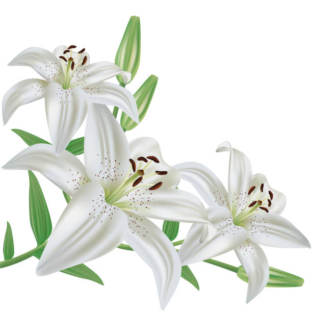 Flower lily isolated on white background White lily flower bouquet realistic, isolated on white background, vector lily stock illustrations