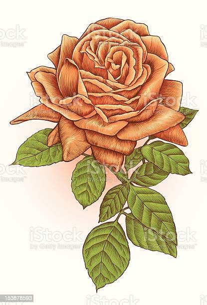 Flower line art orange rose on white background vector id153878593?b=1&k=6&m=153878593&s=612x612&h=88n16h4ea03uxx mw244rp7ls7ucheez3l1x4otc3gk=