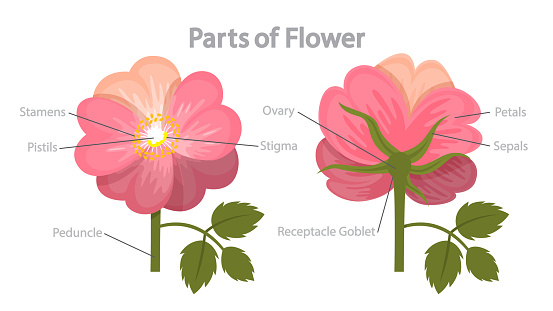 Flower part infographics. Biology and education concept. Flora anatomy.