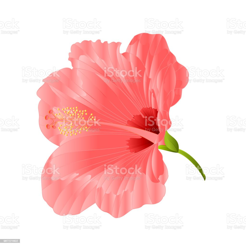 Flower Tropical Plant Hibiscus Pink On A White Background Vintage