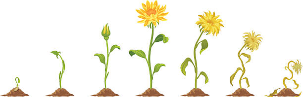 Flower Growth and wilting flower on a white background death stock illustrations