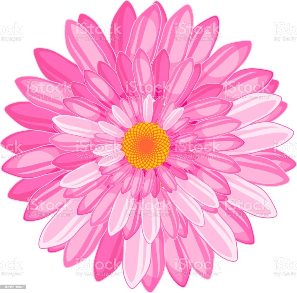 Flower With Numerous Bright Pink Petals On White Background Stock