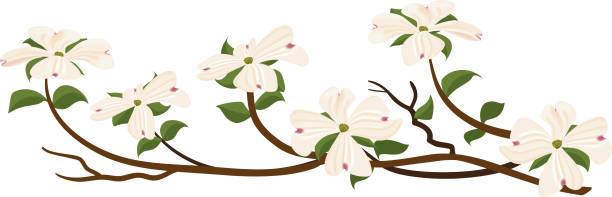 Flowering White Dogwood Branch vector art illustration