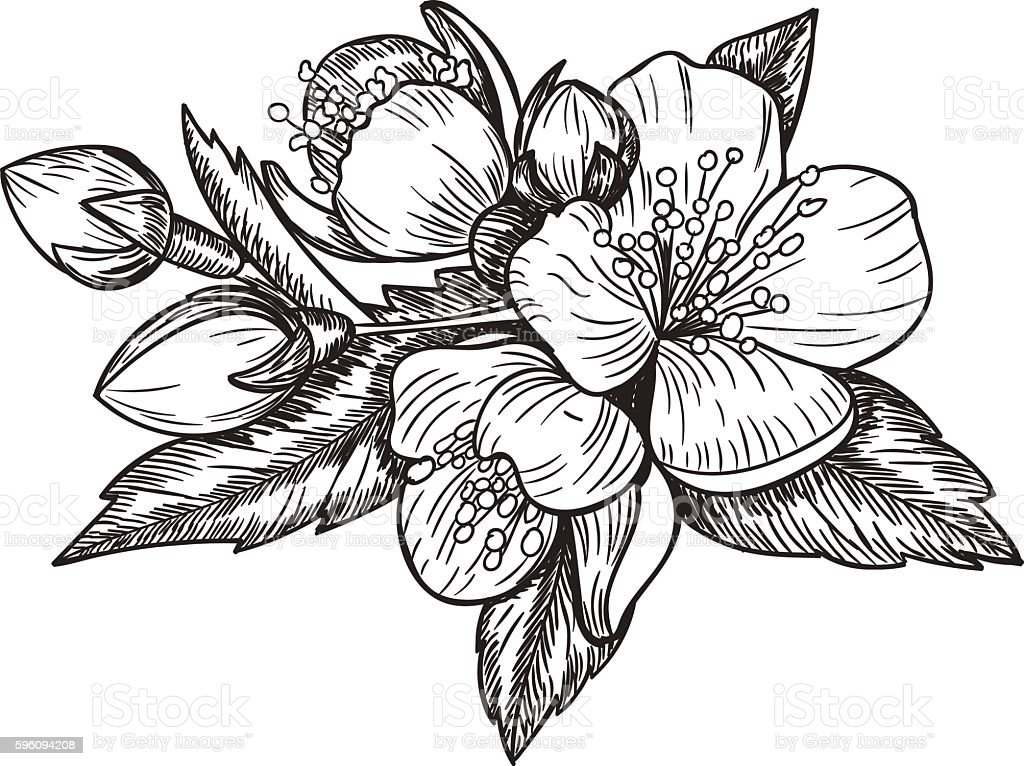 Line Art Flowers Vector : Flowers and leaves of the apple tree vector sketch