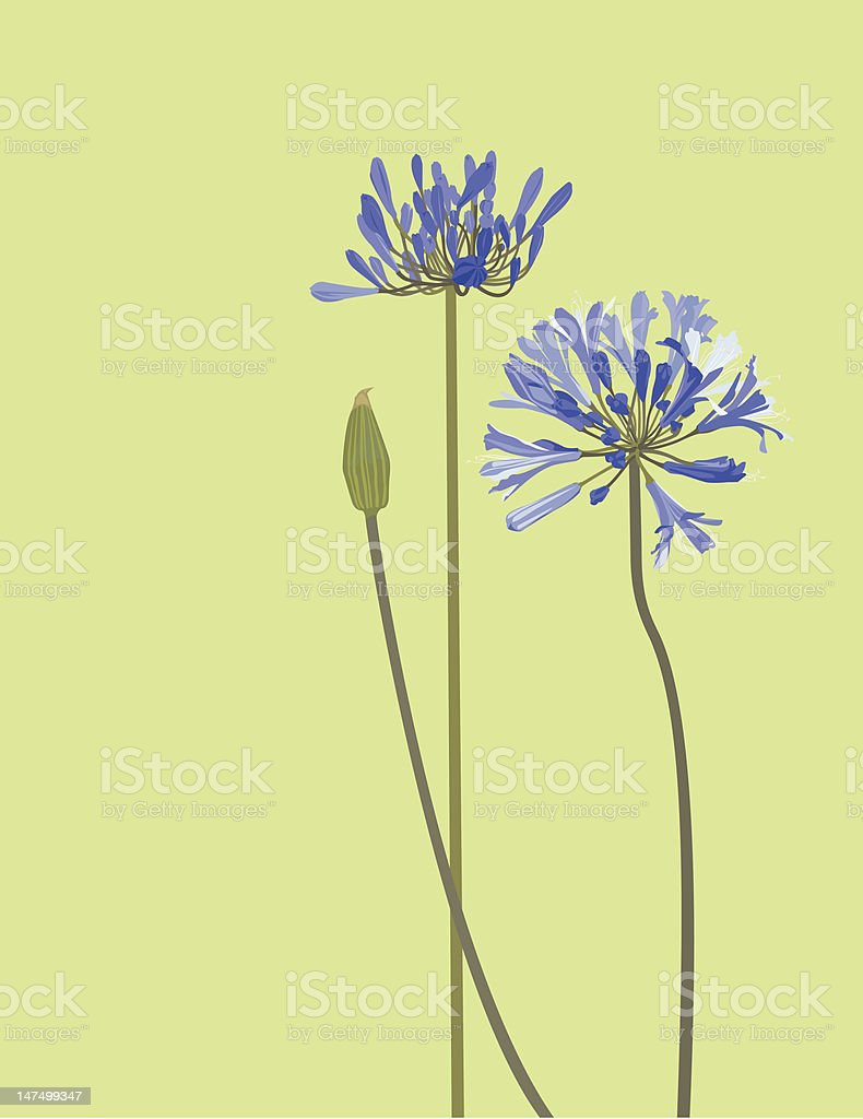 Flowers Blue of African Lily on Green  Background vector art illustration