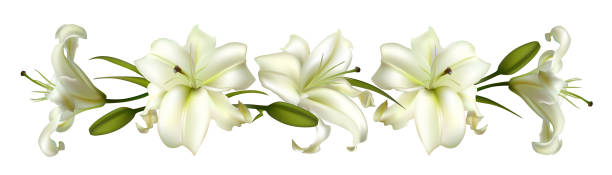 Flowers. Floral background. Lilies. White. Green leaves. Border. Flowers. Floral background. Lilies. White. Green leaves. Border. lily stock illustrations