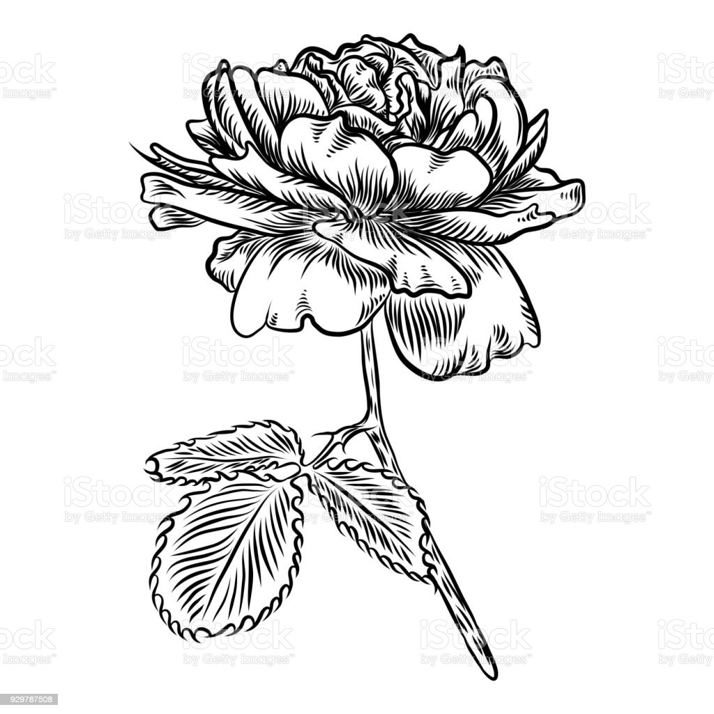 Flowers Hand Drawn Rose Roses For Decoration Vector Stock Vector Art