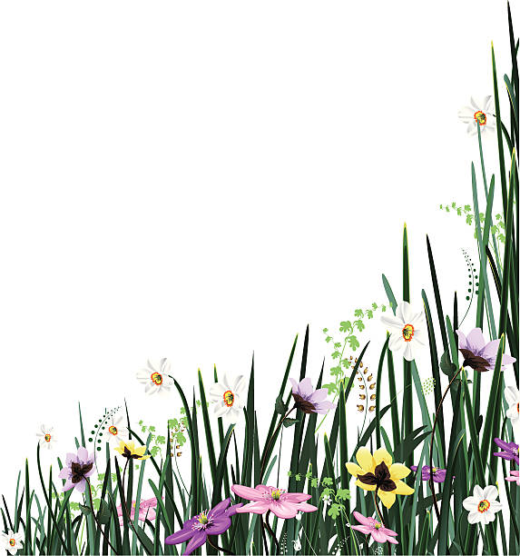 Best Paperwhite Narcissus Illustrations, Royalty-Free ...
