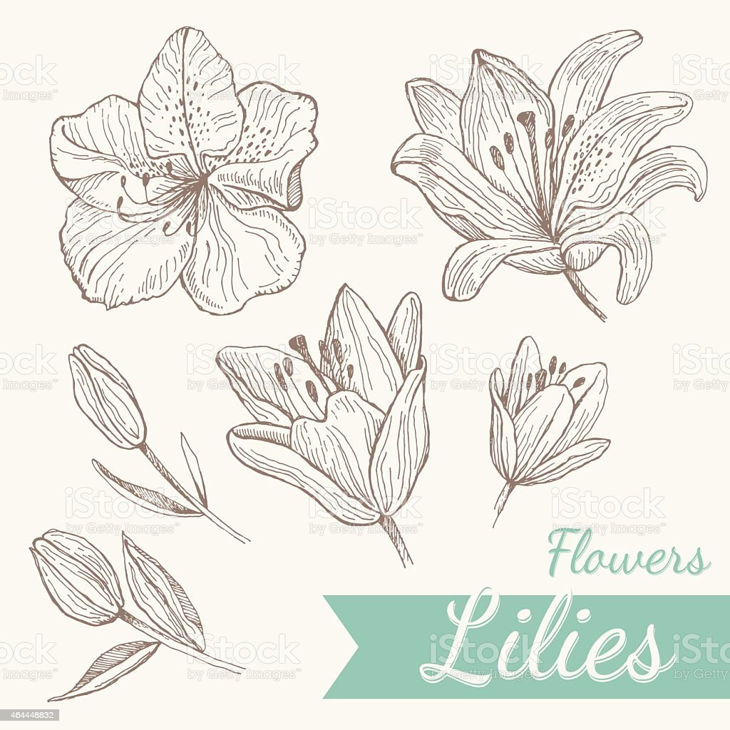 Flowers lily set vector art illustration